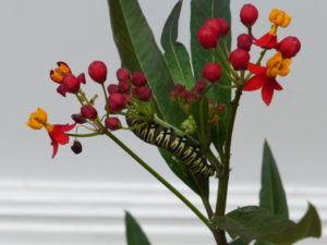 From Monarch caterpillar... Photo © J. Elke Ertle, 2015. www.walled-in-berlin.com