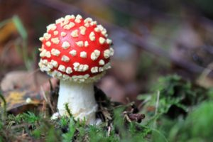 Fliegenpilz (Amanita muscaria) in the wild with its distinctive white-spotted red cap. www.walled-in-berlin.com